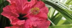 Cerrol Imperia Hibiscus 1 декор